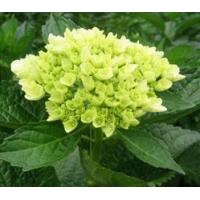 Buy cheap Hydrangea - Mini Green from wholesalers