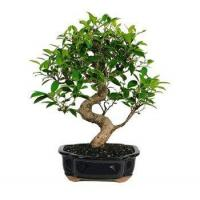 Buy cheap GOLDEN GATE FICUS BONSAI TREE - LARGE from wholesalers