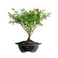 Buy cheap POMEGRANATE BONSAI TREE from wholesalers