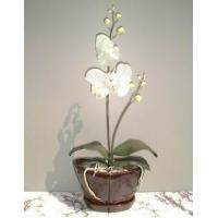Buy cheap Flowers Snow Orchid from wholesalers