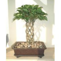 Buy cheap Bonsai 15 Ficus Bonsai from wholesalers