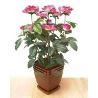 Buy cheap Bushes Rose Bush (R) from wholesalers