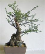 Buy cheap BONSAI TREES from wholesalers