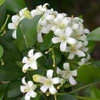 Buy cheap Jasmine Absolute & Concrete from wholesalers