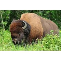 Buy cheap Bison Ground 1 Lb Meat from wholesalers