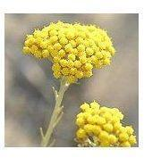 Buy cheap Helichryse Extract(Immortelle extract) from wholesalers