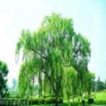 Buy cheap White Willow Bark Extract from wholesalers