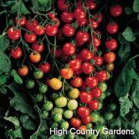Buy cheap Hybrid Sweet 100 Cherry Tomato from wholesalers