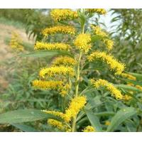 Buy cheap :Common Goldenrod Extract from wholesalers