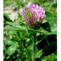 Buy cheap :Red Clover Extract 20% Isoflavones from wholesalers