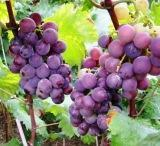 Buy cheap Botanical.Extract Grape Seed Extract product