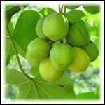 Buy cheap Jatropha Plant from wholesalers