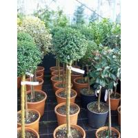 Buy cheap Trees and Bushes from wholesalers