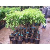Buy cheap Fruiting from wholesalers
