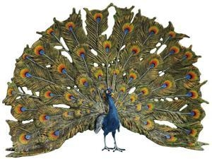 Buy cheap Peacock in Display from wholesalers