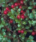 Buy cheap iqf wild lingonberry from wholesalers