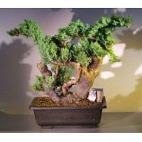 Juniper Bonsai Tree - Phoenix Graft(juniper procumbens nana)