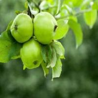 Buy cheap Pyrus Malus Apple Fruit Extract from wholesalers