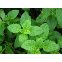 Buy cheap YYR111 Wild Mint Herb Extract,Mentha Piperita Extract,Peppermint Extract from wholesalers