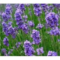 Buy cheap Dried herbs Lavender flowers dried from wholesalers