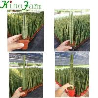 Buy cheap Sansevieria Sansevieria Cylindrica For Sale from wholesalers