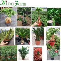 Buy cheap Sansevieria Snake Plant Mother In Law's Tongue from wholesalers