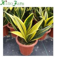 Buy cheap Sansevieria Sansevieria Mother In Law Tongue Plant from wholesalers
