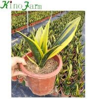 Buy cheap Sansevieria Hotsell Mother In Law's Tongue from wholesalers