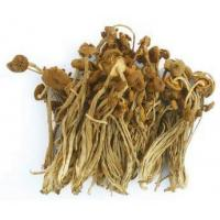 Buy cheap Wild Edible AGROCYBE AEGERITA from wholesalers
