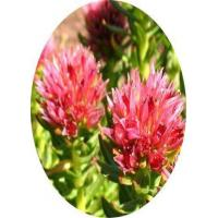 Buy cheap Plant extract Rhodiola extract product